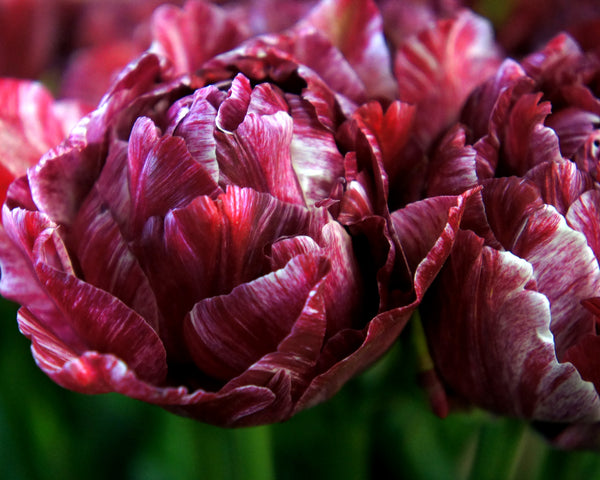 Tulip Nachtwacht (Night Watch)