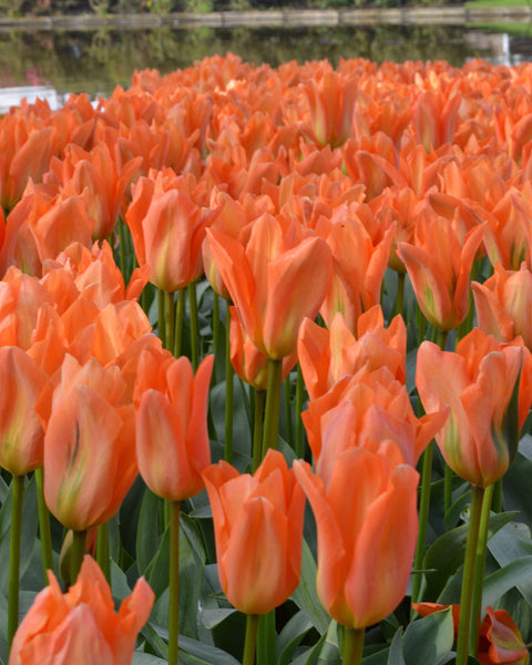 Flower BulbsOrange Emperor Bulbs UK - 1