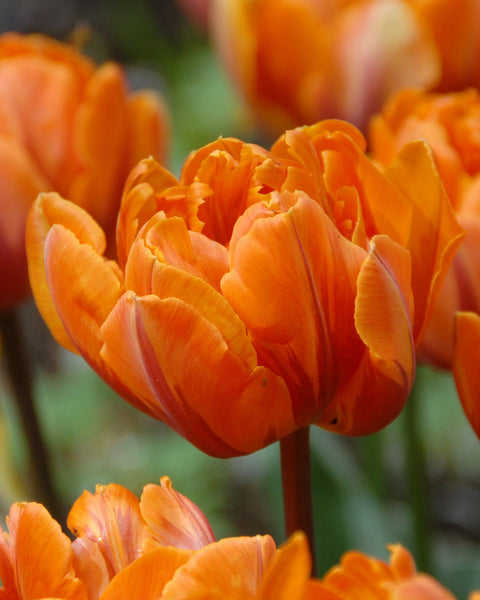 Flower BulbsOrange Princess Bulbs UK - 1