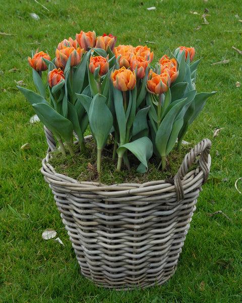 Flower BulbsOrange Princess Bulbs UK - 4