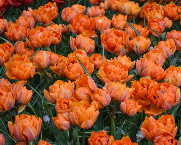 Flower BulbsOrange Princess Bulbs UK - 3