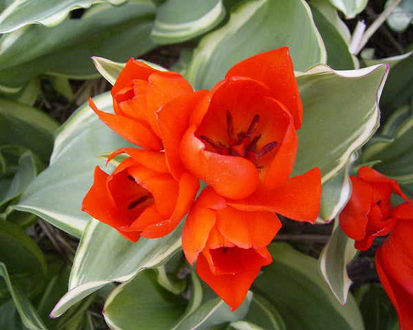 Flower BulbsPraestans Unicum Bulbs UK - 3