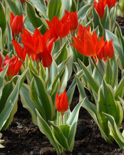 Flower BulbsPraestans Unicum Bulbs UK - 1