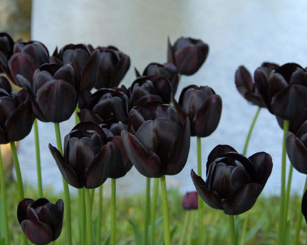 Flower BulbsQueen of Night Bulbs UK - 5