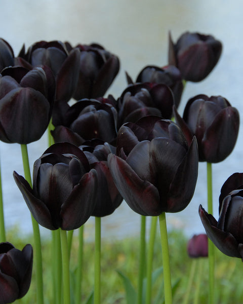 Flower BulbsQueen of Night Bulbs UK - 1