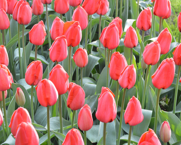 Flower BulbsRed Impression™ Bulbs UK - 6