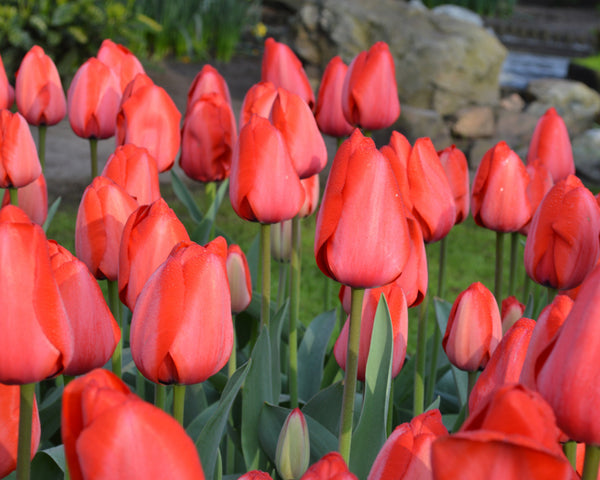 Flower BulbsRed Impression™ Bulbs UK - 4