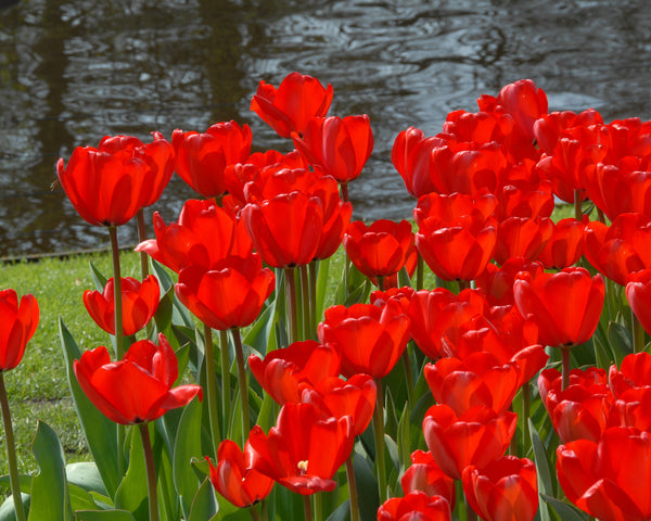 Flower BulbsRed Impression™ Bulbs UK - 3