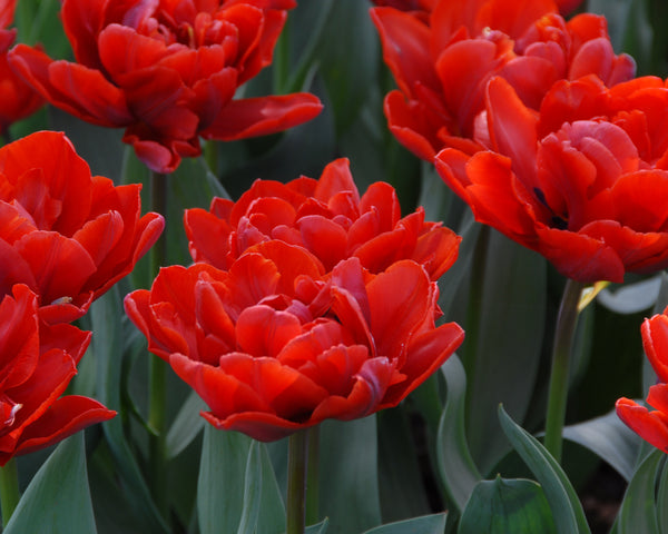 Tulip Red Princess