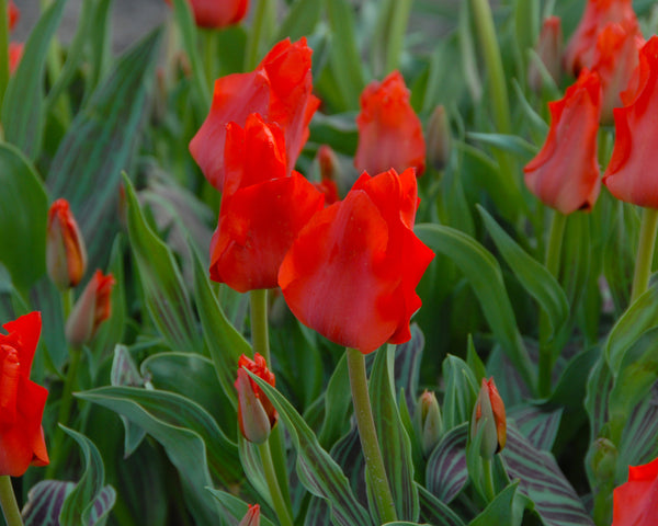 Flower BulbsRed Riding Hood Bulbs UK - 3