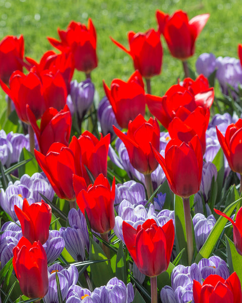 Flower BulbsShowwinner Bulbs UK - 1