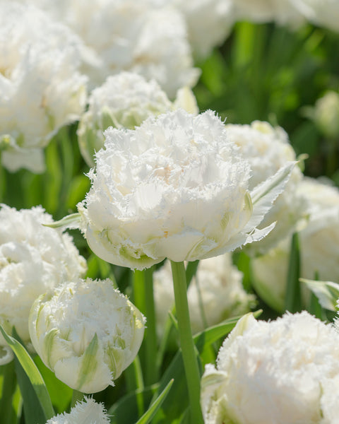 Flower BulbsSnow Crystal™ Bulbs UK - 1