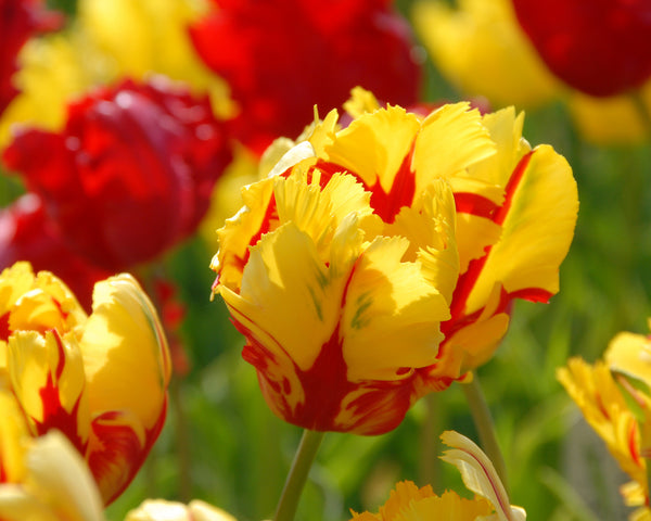 Tulip 39 texas flame 39 bulbs buy online at farmer gracy uk for Tulip garden in texas