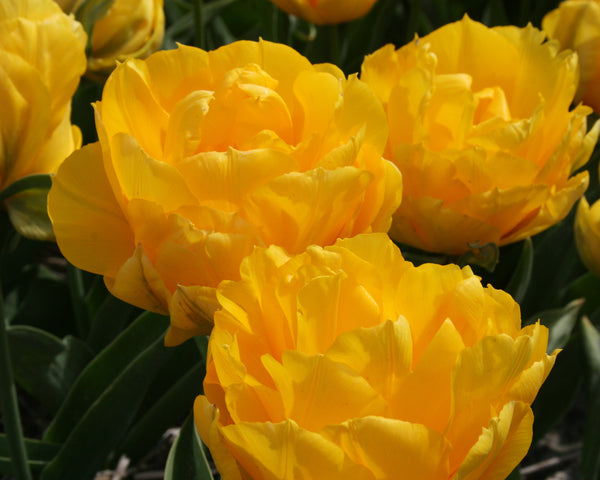 Tulip Tropical Wave