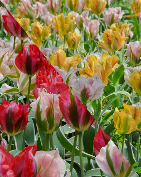 Flower BulbsViridiflora Mixed Colours Bulbs UK - 1