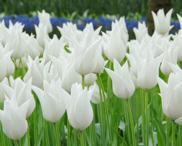 Flower BulbsWhite Elegance Bulbs UK - 3