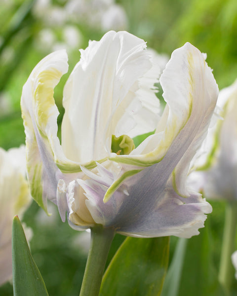 Tulip White Lizard
