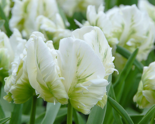 Flower BulbsWhite Parrot Bulbs UK - 3