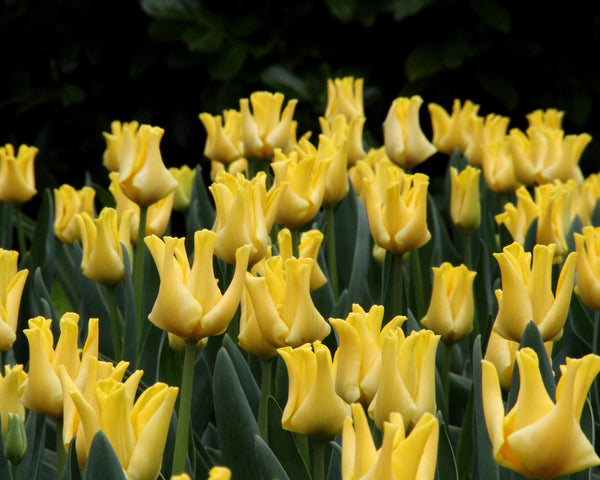 Tulip Yellow Crown