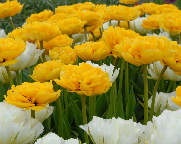 Flower BulbsYellow Pompenette Bulbs UK - 2