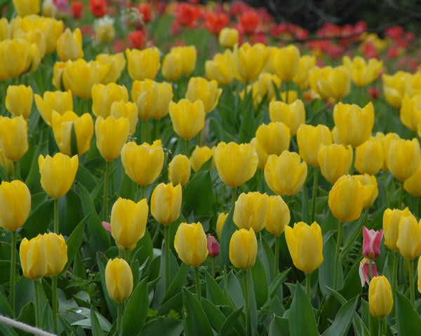 Flower BulbsYellow Purissima Bulbs UK - 2