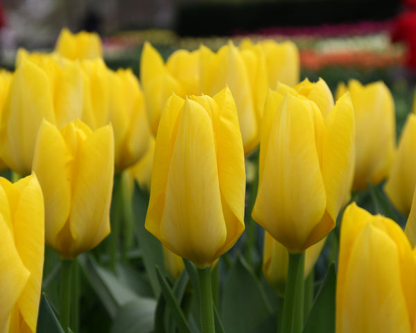Tulip Yellow Emperor