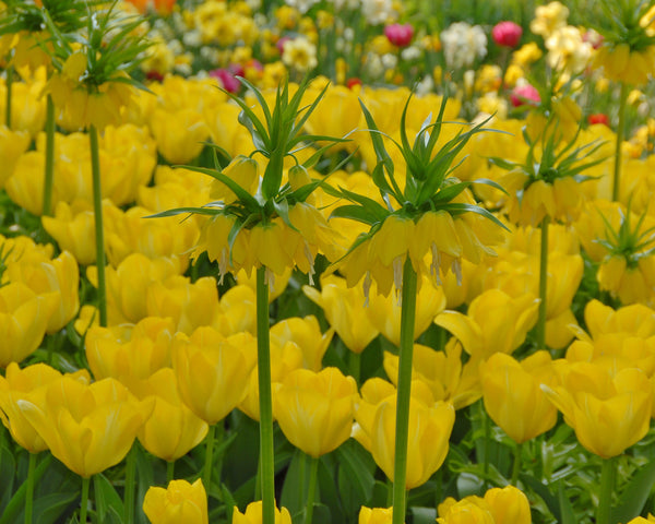 Flower BulbsYellow Purissima Bulbs UK - 5