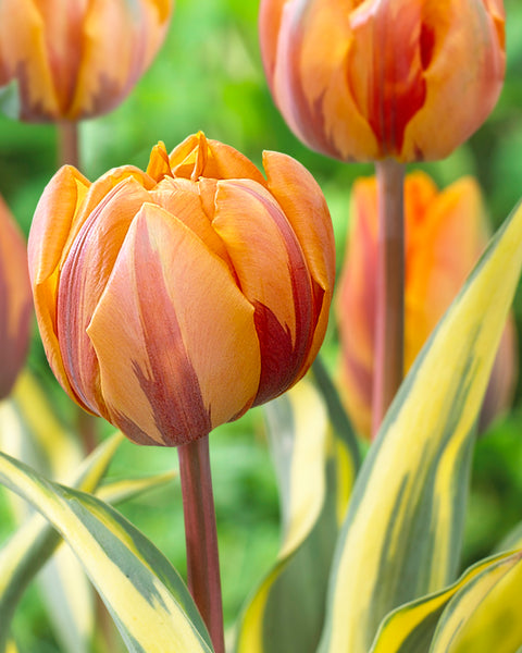 Tulip Orange Princess Design