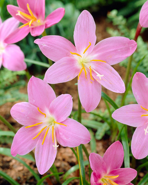 Zephyranthes robustus
