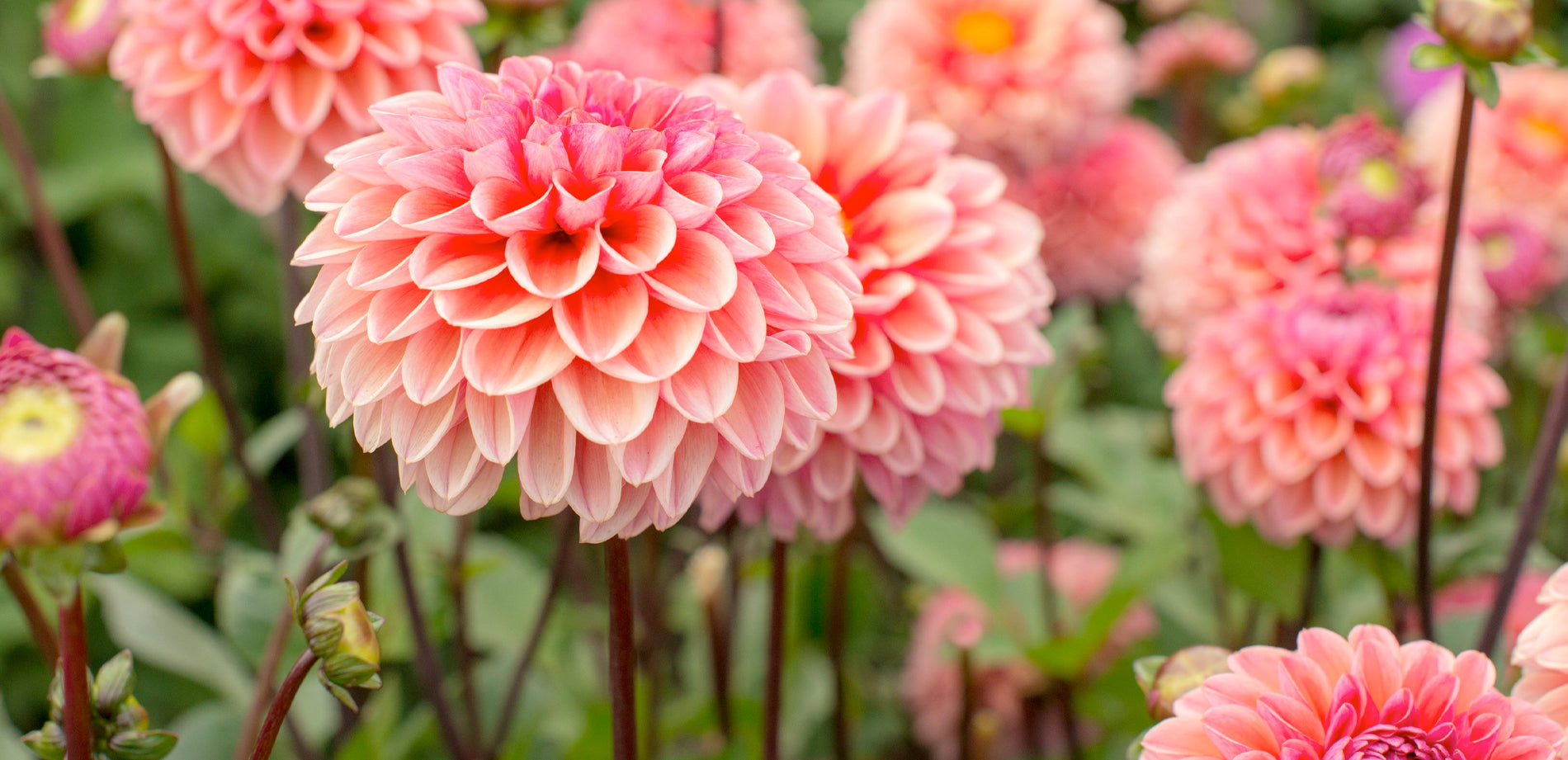 Gracy's Dahlia Market