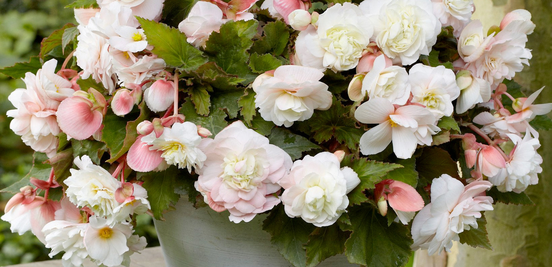 Begonias at their Best