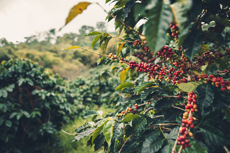 The Science Behind Processing Coffee and Why our Coffee is Better?
