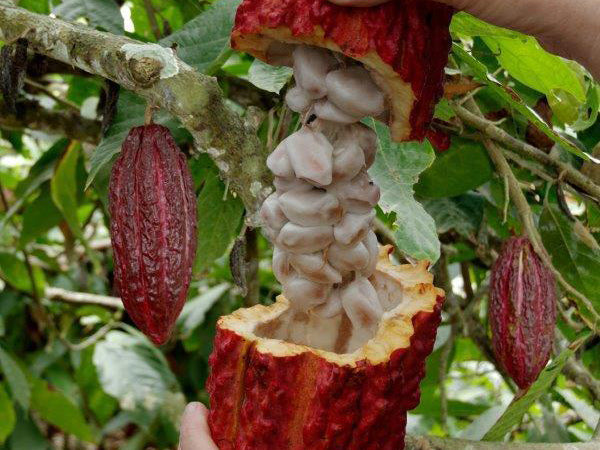 The Benefits of Raw Cold Pressed Cacao