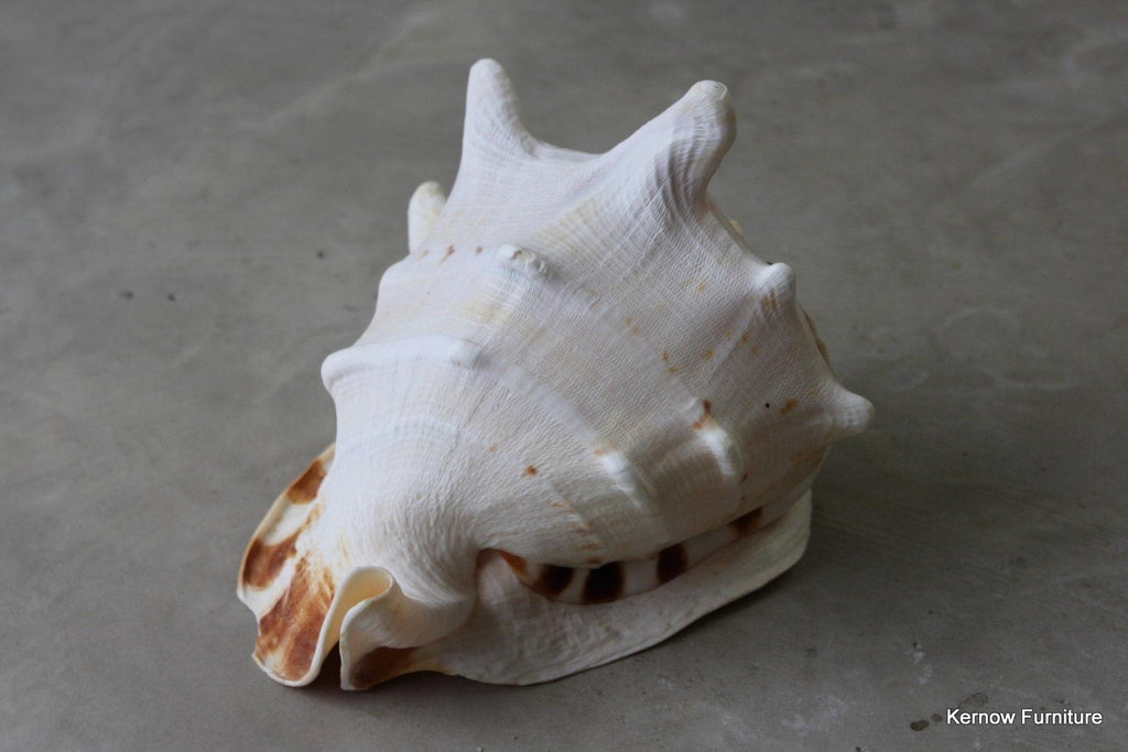 Large Single Conch Shell - Kernow Furniture