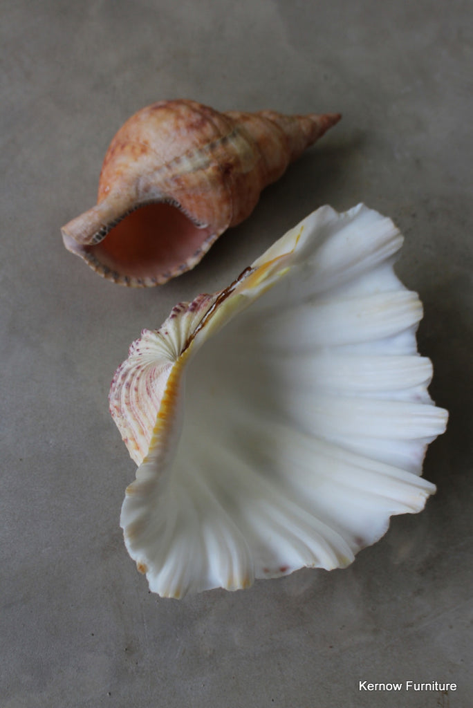 Trumpet & Scallop Shell - Kernow Furniture