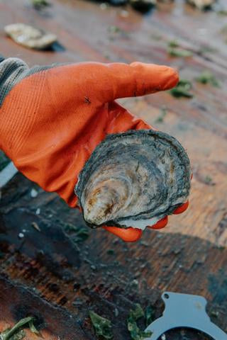 OYSTER OF THE WEEK - ROBINHOOD COVE