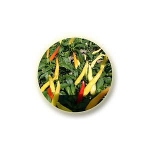 'Capsicum Frutescens Resin' is a capsicum / chilli pepper extract (capsaicin) with analgesic properties.