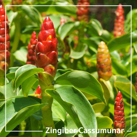 plai zingiber cassumunar ginger for topical rub natural pain relief oil