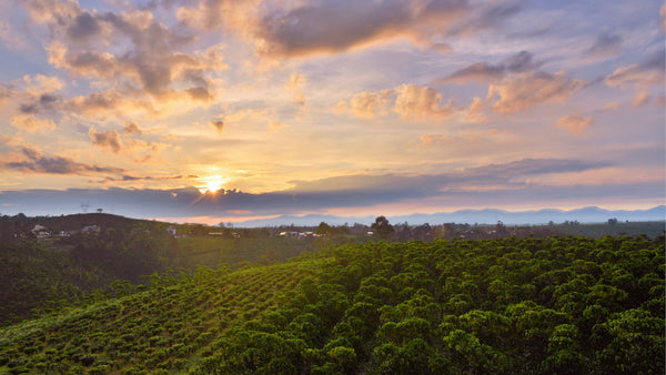 coffee plantation with low sun