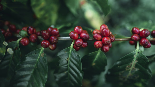 red coffee cherries on a tree
