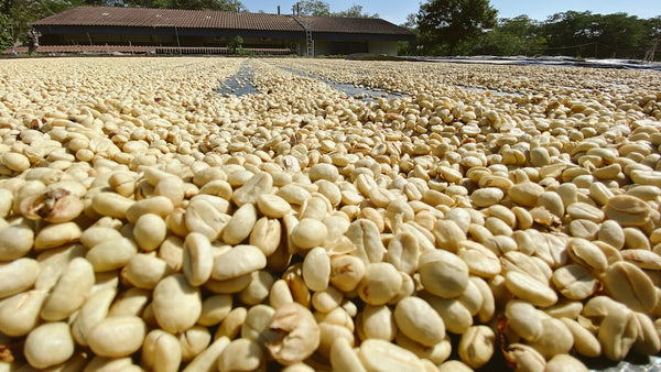 washed coffee drying