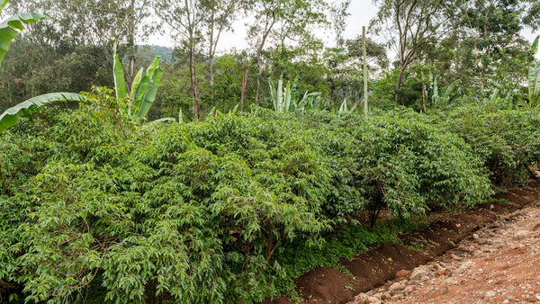 lush coffee plants in southern Ethiopia.