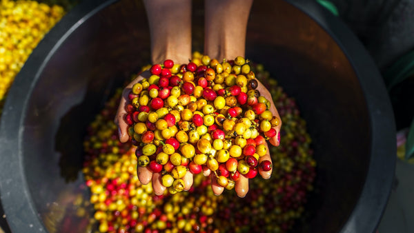 coffee cherries after they've been picked