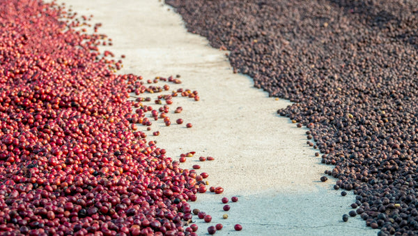 natural processed coffee drying