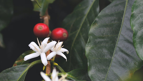 Coffee blossom and fruit in Colombia