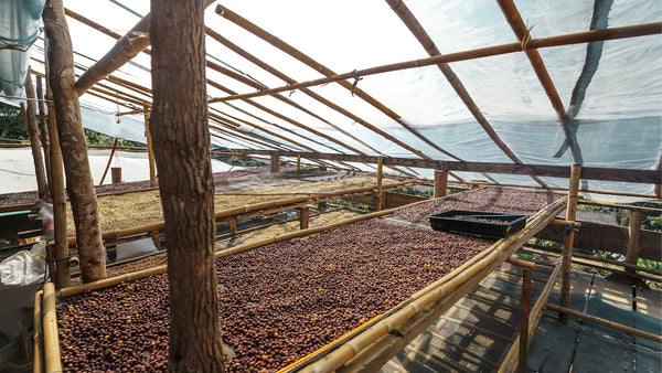 coffee drying on raised beds