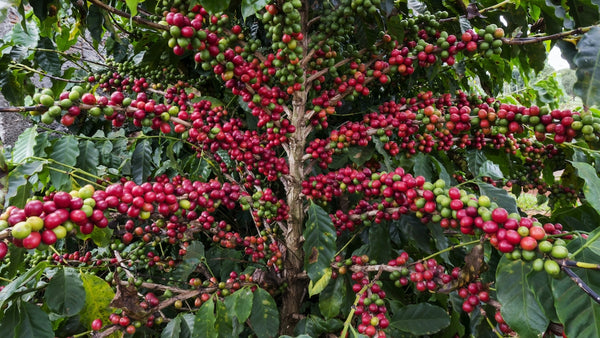 coffee tree with lots of ripe fruit