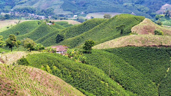 Colombian hills covered with coffee plants