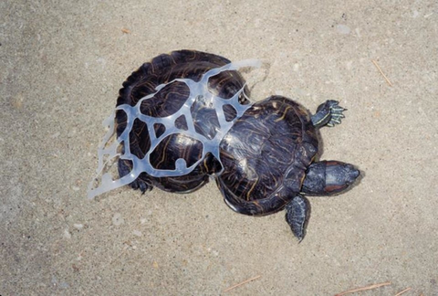 turtle in plastic