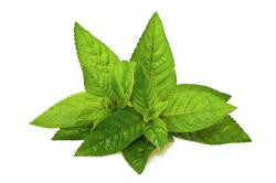 PEPPERMINT Essential oil, AUSTRALIAN